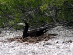 Brown Booby Nest